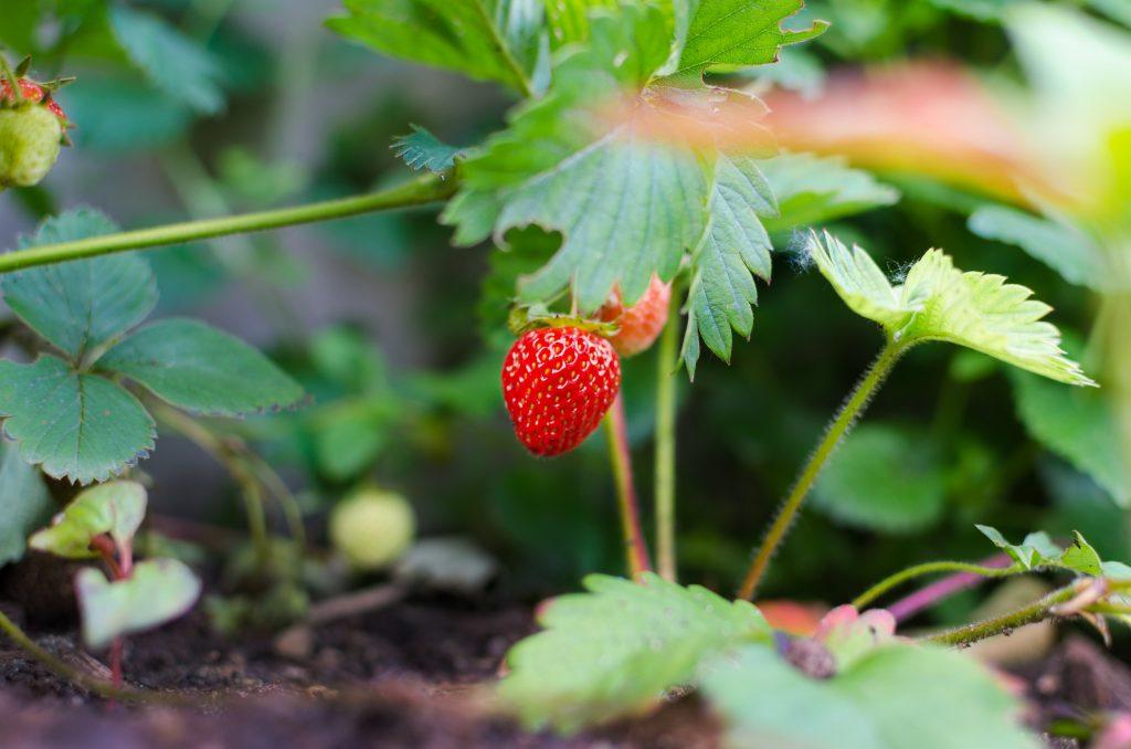 Erdbeeren selbst Pflücken